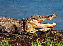 Нападают ли крокодилы на человека?