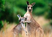 Почему детеныши кенгуру так долго находятся в сумке?