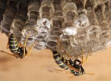 Как осы строят свое гнездо?