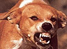 Как животные заболевают бешенством?