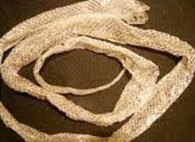 Как часто змеи сбрасывают кожу?