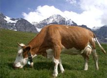 Действительно ли у коровы четыре желудка?