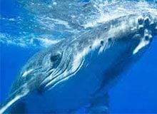 Где обитают голубые киты?