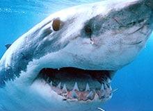 Что едят акулы?
