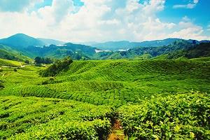 Как делают индийский чай? Секреты производства индийского чая.